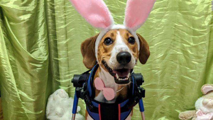 Lieutenant Dan the two-legged hound has been named the next Cadbury Bunny
