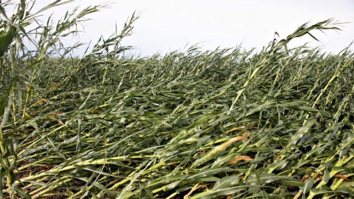 Iowa farmers devastated after derecho damages 14 million acres of farmland, grain bins